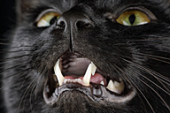 Portrait of black cat, Felis silvestris catus, with opened mouth, partial view - MJOF000096