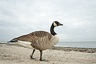 Canada goose, Branta canadensis, walking on beach - HACF000117