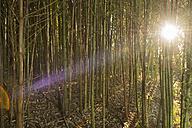 Australia, New South Wales, Dorrigo, morning sun breaking through a grove of bamboo - SHF001295