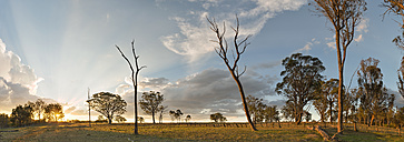 Australia, New South Wales, Arding,  scattered stems of dead trees and eucalyptus trees at sunset - SHF001309