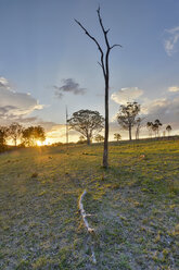 Australia, New South Wales, Arding, scattered stems of dead trees and eucalyptus trees at sunset - SHF001310