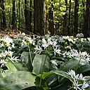 Germany, North Rhine-Westphalia Eifel, wild garlic in a beech forest, wild garlic flowers, Spring - GWF002768
