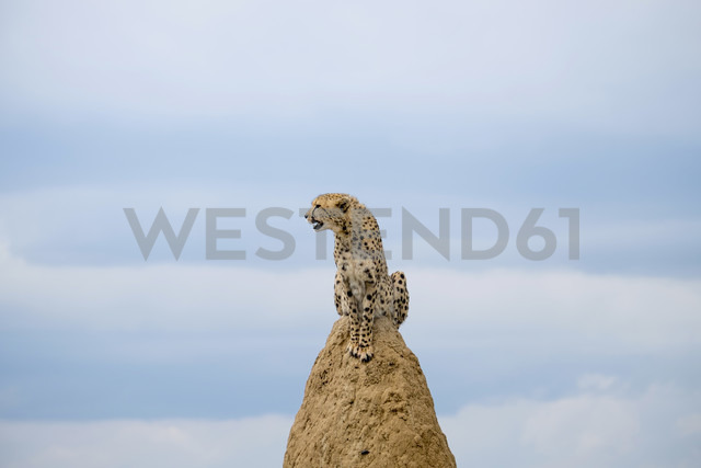 Africa, Namibia, Okonjima Nature Reserve, Cheetah, Acinonyx Jubatus, sitting on termite hill - HLF000527