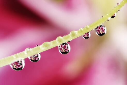 Water drops with reflections hanging at stamen of lily, Lilium, close-up - MJOF000141