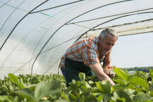 Germany, Hesse, Lampertheim, senior farmer harvesting strawberries in greenhouse - UUF000595