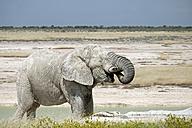 Africa, Namibia, Etosha National Park, Elephant bull, Loxodonta africana, drinking - HLF000544