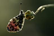 Germany, Orange Tip butterfly, Anthocharis cardamines, sitting on flower - MJOF000168