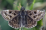 Germany, Dingy Skipper butterfly, Erynnis tages, sitting on plant - MJOF000171