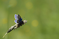 Germany, Common blue butterfly, Polyommatus icarus, sitting on plant - MJOF000179
