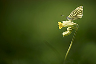 Germany, Green-veined white butterfly, Pieris napi, sitting on floer - MJO000184