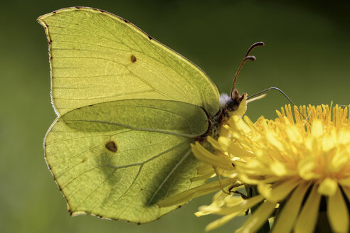 Germany, Brimstone butterfly, Gonepteryx rhamni, sitting on plant - MJOF000195