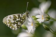 Germany, Orange Tip butterfly, Anthocharis cardamines, sitting on flower - MJOF000208