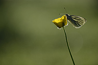 Germany, Green-veined white butterfly, Pieris napi, sitting on floer - MJOF000219