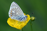 Germany, Common blue butterfly, Polyommatus icarus, sitting on plant - MJOF000232