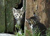 Two tabby kittens, Felis silvestris catus, face to face - SLF000427