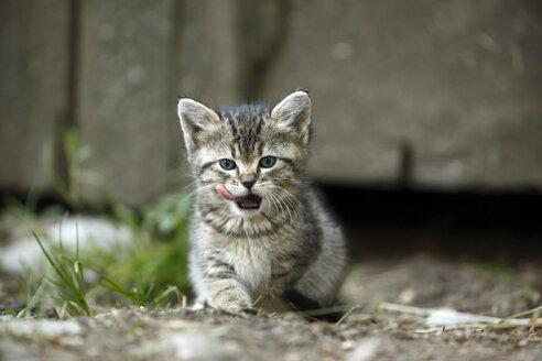 Tabby kitten, Felis silvestris catus, licking snout - SLF000431