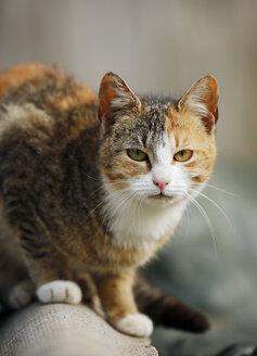 Germany, Baden-Wuerttemberg, Tricolor cat, Felis silvestris catus, Portrait - SLF000441