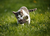 Germany, Baden-Wuerttemberg, Grey white tabby cat, Felis silvestris catus, standing on meadow and playing with wood - SLF000443