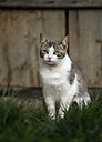 Germany, Baden-Wuerttemberg, Grey white tabby cat, Felis silvestris catus, standing on meadow - SLF000444