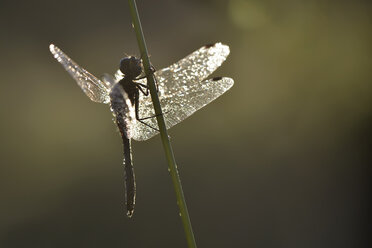 Black darter, Sympetrum danae, at blade of grass - MJOF000238