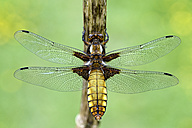Broad-bodied chaser, Libellula depressa - MJOF000245