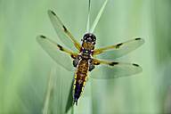 Four-spotted chaser, Libellula quadrimaculata - MJOF000251