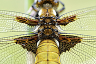 Broad-bodied chaser, Libellula depressa - MJOF000256