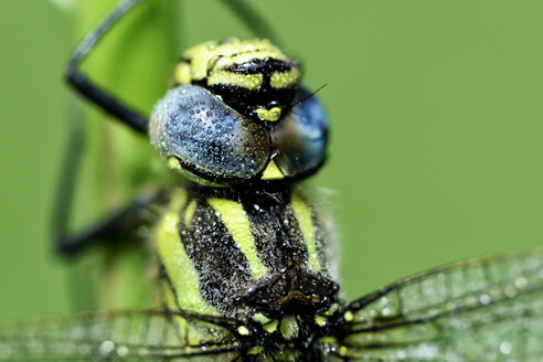 Hairy dragonfly, Brachytron pratense in front of green background, close-up - MJOF000259