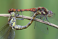 Two common darters, Sympetrum Striolatum, close-up - MJOF000264