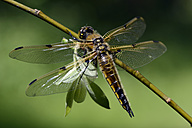 Four-spotted chaser, Libellula quadrimaculata - MJOF000265