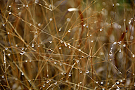 Germany, Baden-Wuerttemberg, Sigmaringen, Grasses with dewdrops - AXF000667