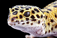 Head of leopard gecko, Eublepharis macularius, in front of black background - MJOF000292