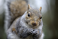 Portrait of grey squirrel, Sciurus carolinensis - MJOF000296