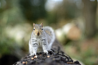 Grey squirrel, Sciurus carolinensis, on tree trunk - MJOF000271