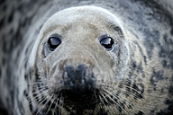 Grey seal, Halichoerus grypus, Portrait - MJOF000276