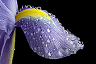 Petal of iris, Iridaceae, with water drops in front of black background - MJOF000344