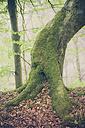Germany, Mecklenburg-Western Pomerania, Ruegen, Jasmund National Park, Beech forest - MJF001246