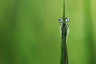 Azure damselfly, Coenagrion puella, hanging on blade - MJOF000355