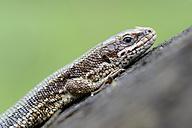 Common lizard, Zootoca vivipara - MJOF000369