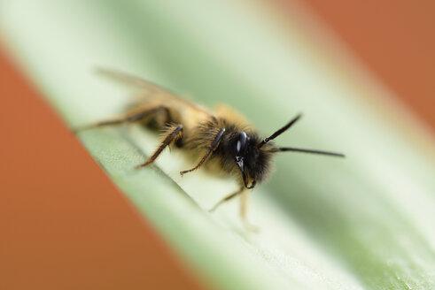Miner bee, Andrena, on leaf - MJO000389