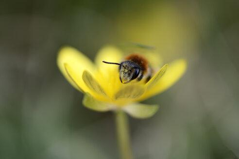 Miner bee, Andrena, on yellow blossom - MJO000390