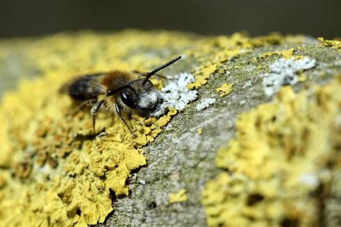 Miner bee, Andrena, on yellow lichen - MJO000392