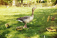 Goose with goslings on meadow - MFF001112