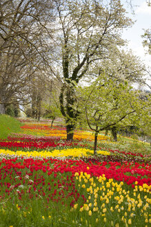 Germany, Baden-Wuerttemberg, Mainau, Blooming trees and tulips - WIF000694