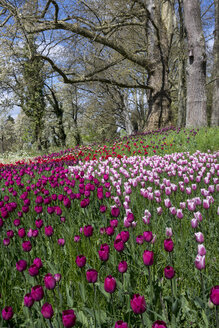 Germany, Baden-Wuerttemberg, Mainau, Blooming trees and tulips - WIF000707