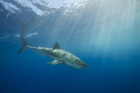 Mexico, Guadalupe, Pacific Ocean, white shark, Carcharodon carcharias, at shark cage - FGF000004