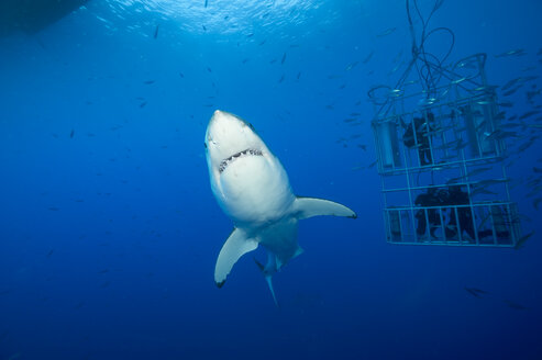 Mexico, Guadalupe, Pacific Ocean, white shark, Carcharodon carcharias, and three scuba divers in shark cage - FG000013