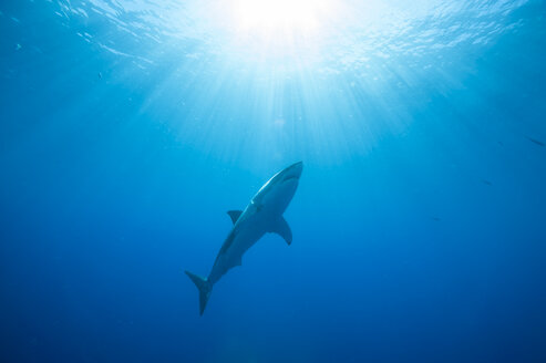 Mexico, Guadalupe, Pacific Ocean, white shark, Carcharodon carcharias - FGF000016