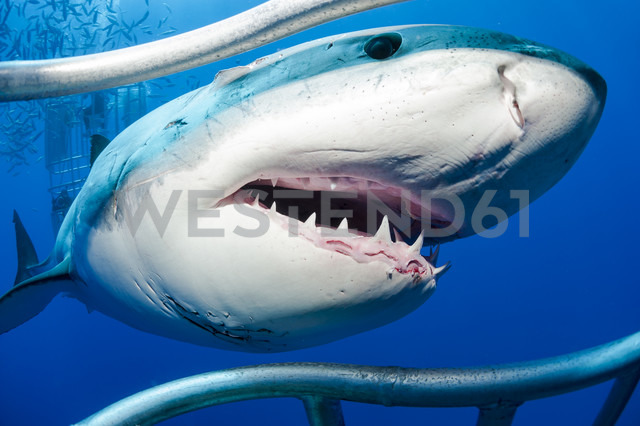Mexico, Guadalupe, Pacific Ocean, white shark, Carcharodon carcharias, at shark cage - FGF000020