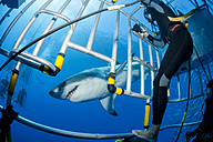 Mexico, Guadalupe, Pacific Ocean, scuba divers in shark cages photographing white shark, Carcharodon carcharias - FG000021